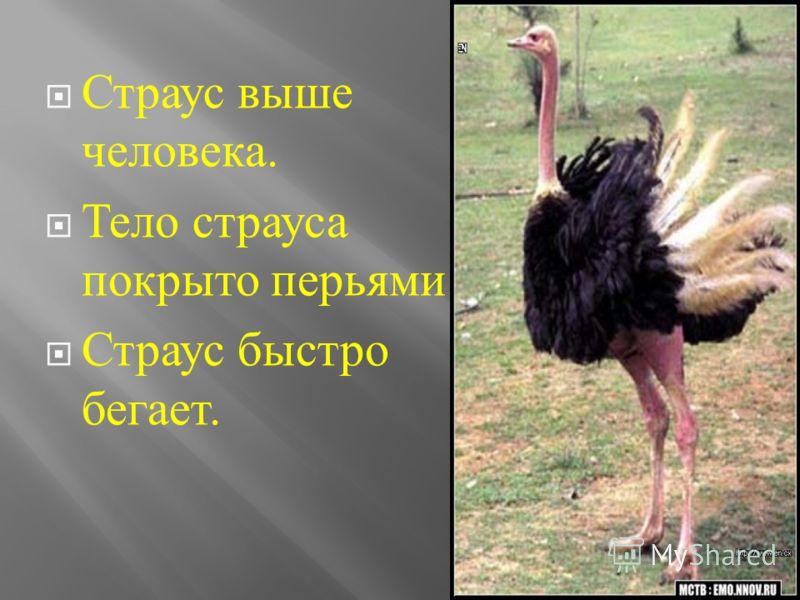 Страус выше человека. Тело страуса покрыто перьями. Страус быстро бегает.