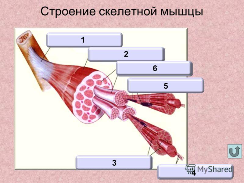Строение скелетной мышцы Мышца Сухожилие 1 2 Клетки 3 Актин и миозин 4 Ядра 5 Мышечное волокно 6