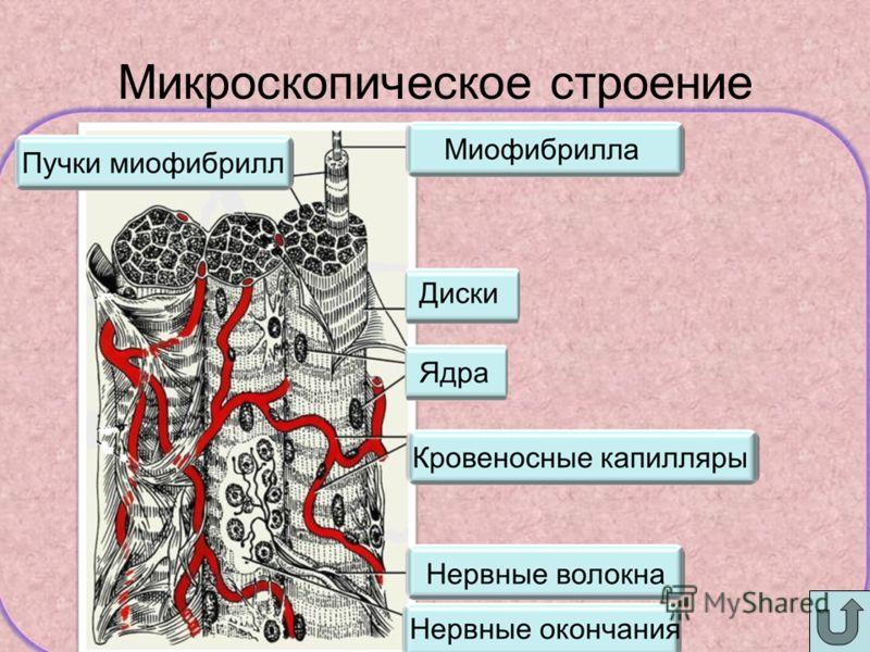 Микроскопическое строение