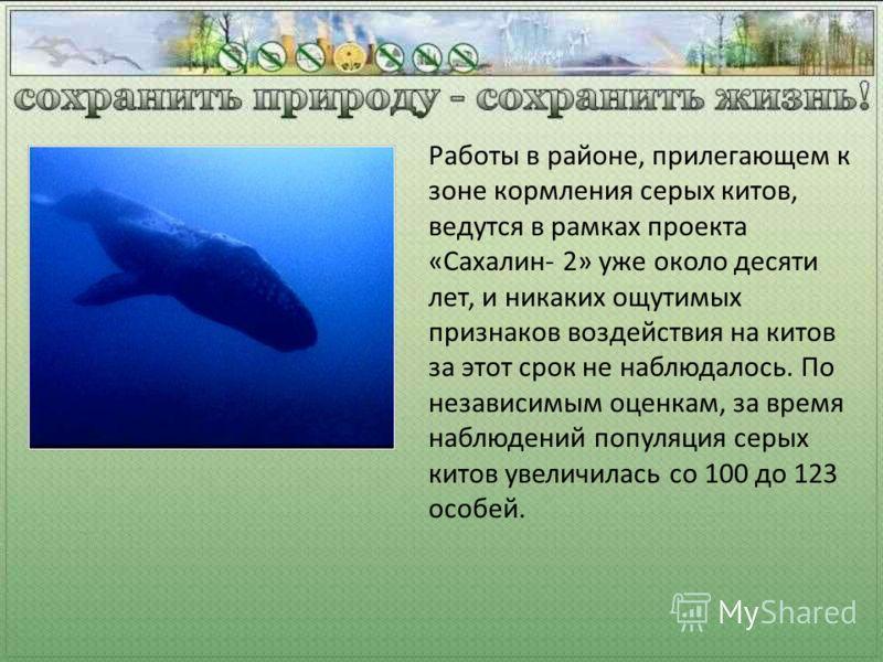 Работы в районе, прилегающем к зоне кормления серых китов, ведутся в рамках проекта «Сахалин- 2» уже около десяти лет, и никаких ощутимых признаков воздействия на китов за этот срок не наблюдалось. По независимым оценкам, за время наблюдений популяци