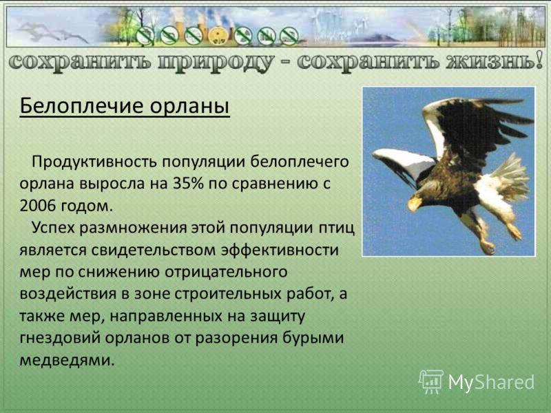 Продуктивность популяции белоплечего орлана выросла на 35% по сравнению с 2006 годом. Успех размножения этой популяции птиц является свидетельством эффективности мер по снижению отрицательного воздействия в зоне строительных работ, а также мер, напра