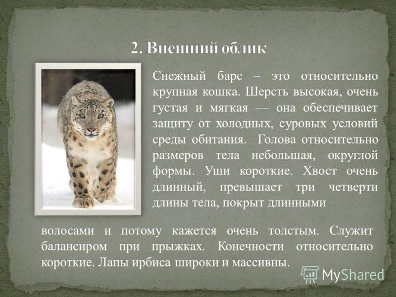 Снежный барс – это относительно крупная кошка. Шерсть высокая, очень густая и мягкая она обеспечивает защиту от холодных, суровых условий среды обитания. Голова относительно размеров тела небольшая, округлой формы. Уши короткие. Хвост очень длинный,