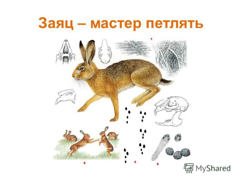Заяц – мастер петлять