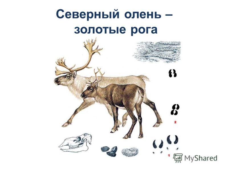 Северный олень – золотые рога