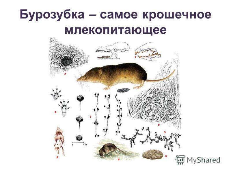 Бурозубка – самое крошечное млекопитающее