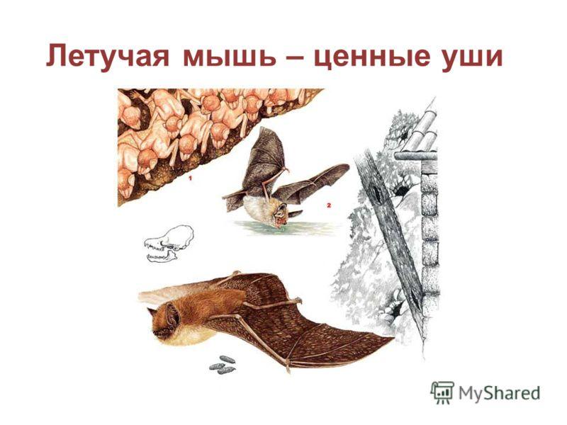 Летучая мышь – ценные уши