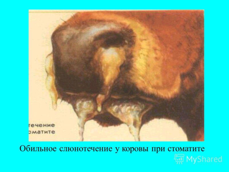 Обильное слюнотечение у коровы при стоматите