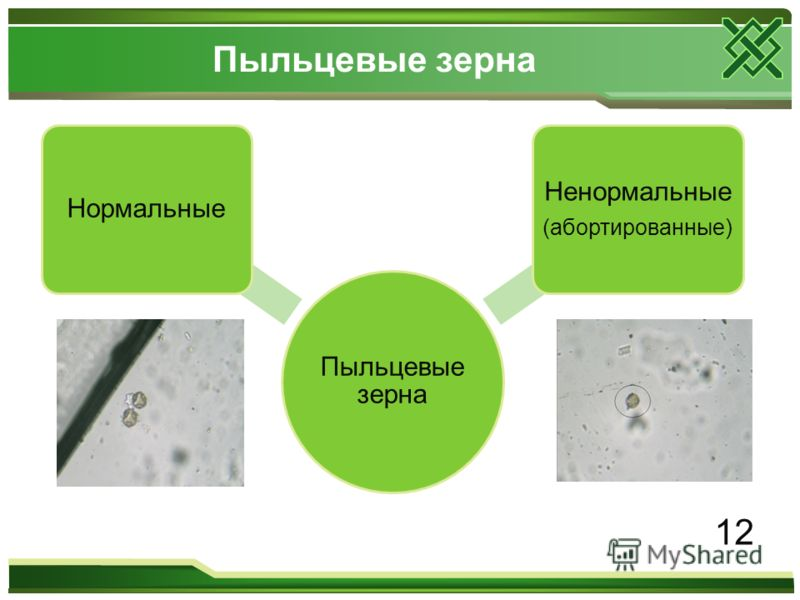 Пыльцевые зерна Нормальные Ненормальные (абортированные) 12