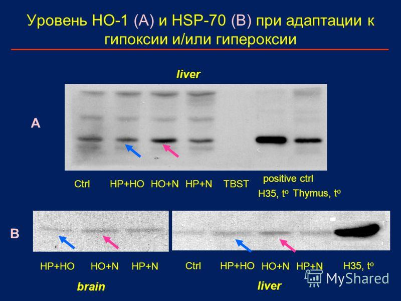 Уровень HO-1 (A) и HSP-70 (B) при адаптации к гипоксии и/или гипероксии Ctrl HP+HO HO+NHP+NTBST positive ctrl H35, t o Thymus, t o HP+HOHO+NHP+N HP+HO HO+NHP+N H35, t o Ctrl brain liver A B