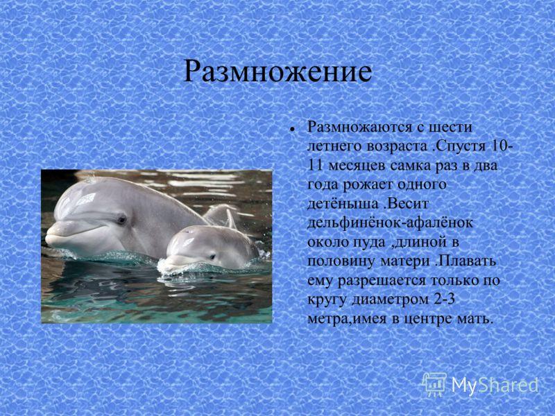 Размножение Размножаются с шести летнего возраста.Спустя 10- 11 месяцев самка раз в два года рожает одного детёныша.Весит дельфинёнок-афалёнок около пуда,длиной в половину матери.Плавать ему разрешается только по кругу диаметром 2-3 метра,имея в цент