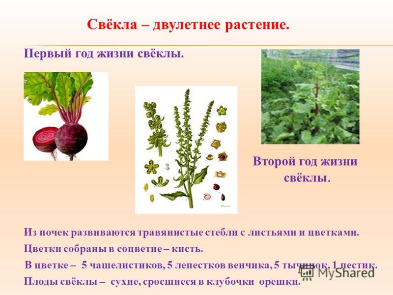Свёкла – двулетнее растение. Из почек развиваются травянистые стебли с листьями и цветками. В цветке – 5 чашелистиков, 5 лепестков венчика, 5 тычинок, 1 пестик. Цветки собраны в соцветие – кисть. Плоды свёклы – сухие, сросшиеся в клубочки орешки. Пер