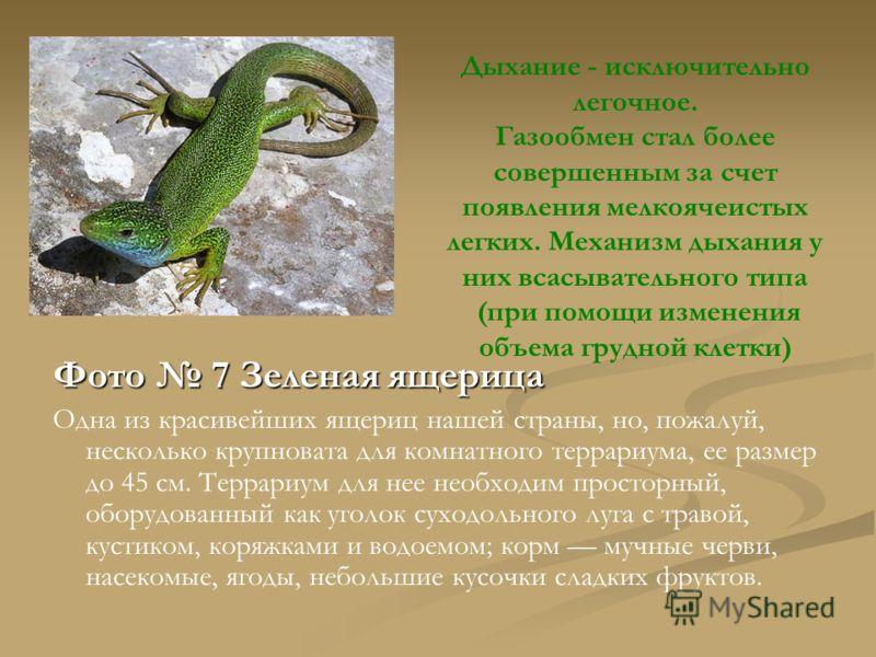 Фото 7 Зеленая ящерица Одна из красивейших ящериц нашей страны, но, пожалуй, несколько крупновата для комнатного террариума, ее размер до 45 см. Террариум для нее необходим просторный, оборудованный как уголок суходольного луга с травой, кустиком, ко