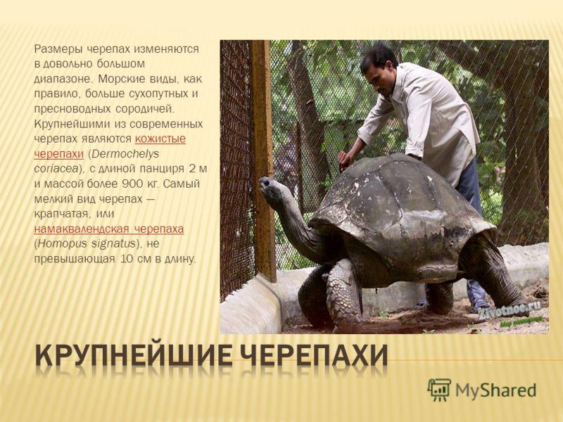Размеры черепах изменяются в довольно большом диапазоне. Морские виды, как правило, больше сухопутных и пресноводных сородичей. Крупнейшими из современных черепах являются кожистые черепахи (Dermochelys coriacea), с длиной панциря 2 м и массой более