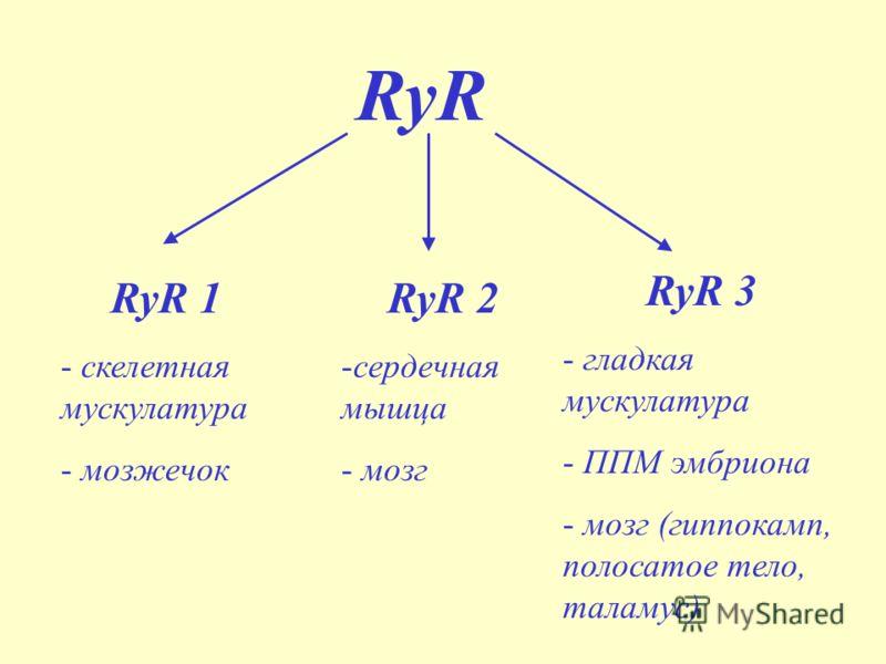 RyR RyR 1 - скелетная мускулатура - мозжечок RyR 2 -сердечная мышца - мозг RyR 3 - гладкая мускулатура - ППМ эмбриона - мозг (гиппокамп, полосатое тело, таламус)