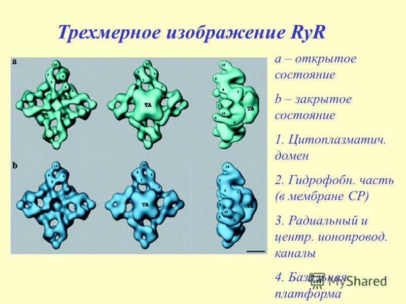 Трехмерное изображение RyR a – открытое состояние b – закрытое состояние 1. Цитоплазматич. домен 2. Гидрофобн. часть (в мембране СР) 3. Радиальный и центр. ионопровод. каналы 4. Базальная платформа