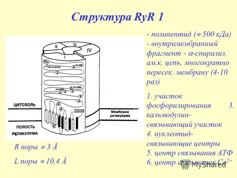 Структура RyR 1 - полипептид ( 500 кДа) - внутримембранный фрагмент - -спирализ. ам.к. цепь, многократно пересек. мембрану (4-10 раз) 1. участок фосфорилирования 3. кальмодулин- связывающий участок 4. нуклеотид- связывающие центры 5. центр связывания