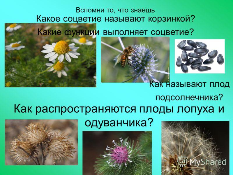Вспомни то, что знаешь Как распространяются плоды лопуха и одуванчика? Как называют плод подсолнечника? Какое соцветие называют корзинкой? Какие функции выполняет соцветие?