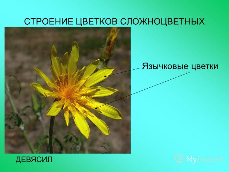 СТРОЕНИЕ ЦВЕТКОВ СЛОЖНОЦВЕТНЫХ ДЕВЯСИЛ Язычковые цветки