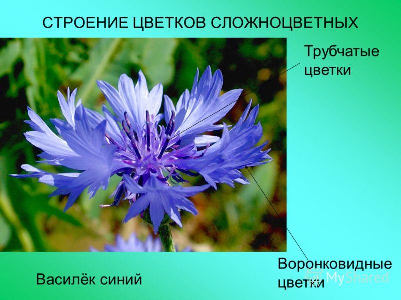 СТРОЕНИЕ ЦВЕТКОВ СЛОЖНОЦВЕТНЫХ Василёк синий Воронковидные цветки Трубчатые цветки