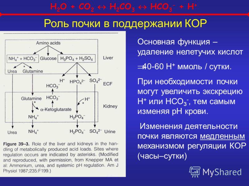 H 2 O + CO 2 H 2 CO 3 HCO 3 - + H + Роль почки в поддержании КОР Основная функция – удаление нелетучих кислот 40-60 Н + ммоль / сутки. При необходимости почки могут увеличить экскрецию Н + или НСО 3 -, тем самым изменяя рН крови. Изменения деятельнос