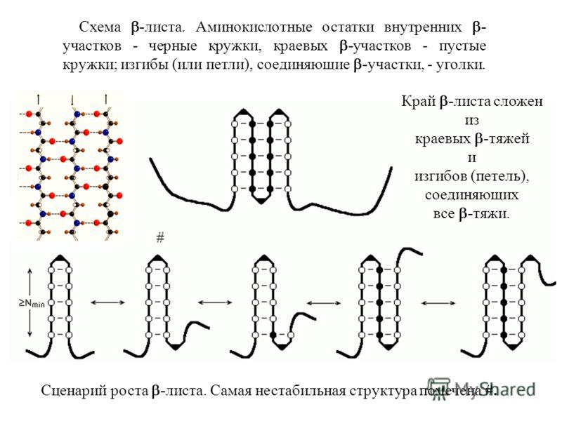 Схема -листа. Аминокислотные остатки внутренних - участков - черные кружки, краевых -участков - пустые кружки; изгибы (или петли), соединяющие -участки, - уголки. Сценарий роста -листа. Самая нестабильная структура помечена #. Край -листа сложен из к