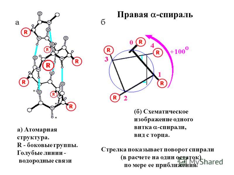 (б) Схематическое изображение одного витка -спирали, вид с торца. Стрелка показывает поворот спирали (в расчете на один остаток) по мере ее приближения. а) Атомарная структура. R - боковые группы. Голубые линии - водородные связи Правая -спираль