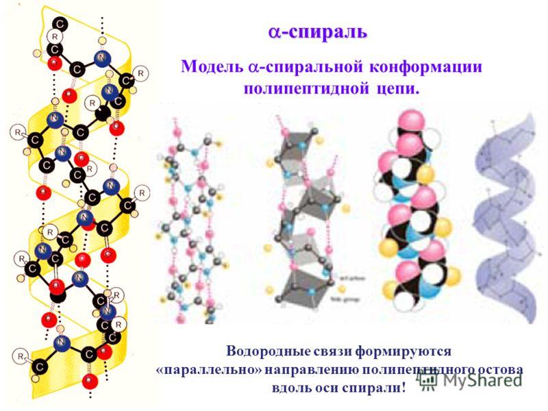 Модель -спиральной конформации полипептидной цепи. -спираль -спираль Водородные связи формируются «параллельно» направлению полипептидного остова вдоль оси спирали!