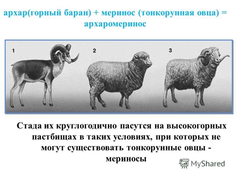 архар(горный баран) + меринос (тонкорунная овца) = архаромеринос Стада их круглогодично пасутся на высокогорных пастбищах в таких условиях, при которых не могут существовать тонкорунные овцы - мериносы