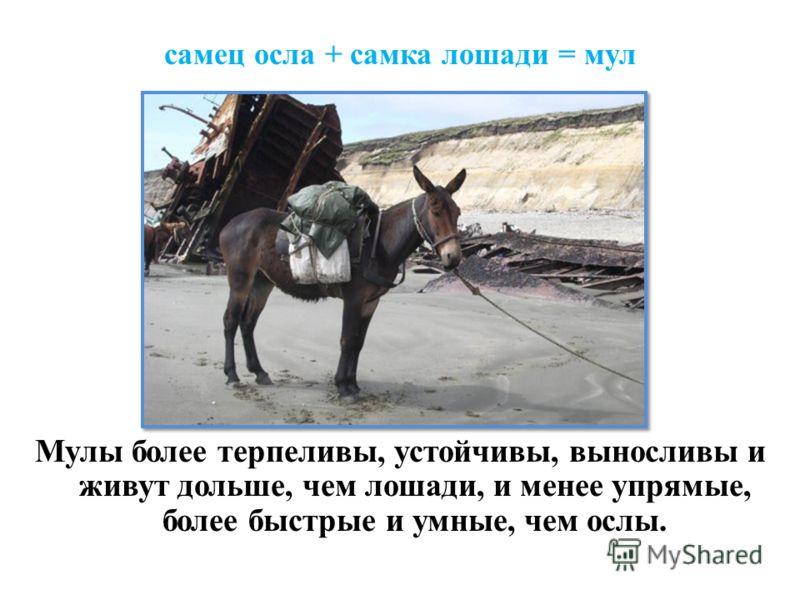 самец осла + самка лошади = мул Мулы более терпеливы, устойчивы, выносливы и живут дольше, чем лошади, и менее упрямые, более быстрые и умные, чем ослы.