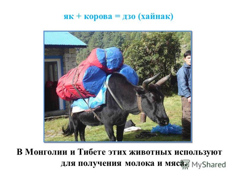 як + корова = дзо (хайнак) В Монголии и Тибете этих животных используют для получения молока и мяса.