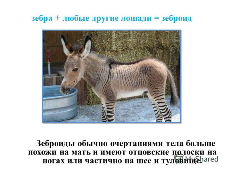 зебра + любые другие лошади = зеброид Зеброиды обычно очертаниями тела больше похожи на мать и имеют отцовские полоски на ногах или частично на шее и туловище.
