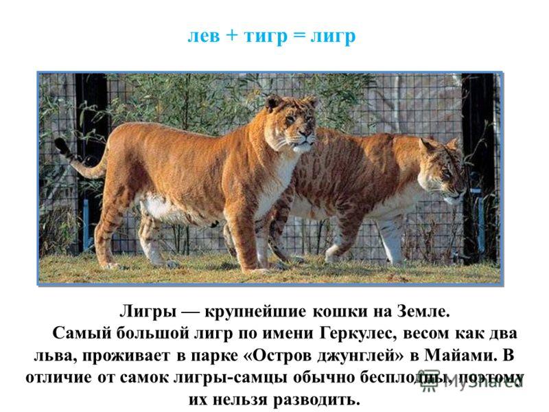 лев + тигр = лигр Лигры крупнейшие кошки на Земле. Самый большой лигр по имени Геркулес, весом как два льва, проживает в парке «Остров джунглей» в Майами. В отличие от самок лигры-самцы обычно бесплодны, поэтому их нельзя разводить.