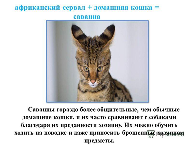 африканский сервал + домашняя кошка = саванна Саванны гораздо более общительные, чем обычные домашние кошки, и их часто сравнивают с собаками благодаря их преданности хозяину. Их можно обучить ходить на поводке и даже приносить брошенные хозяином пре