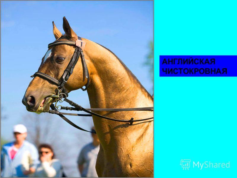 Классификация лошадей. Породы лошадей. Авелинская порода.
