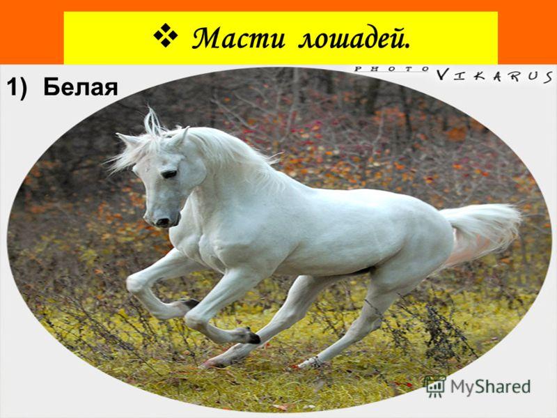 ОРЛОВСКИЙ РЫСАК Гафлингренская лошадь