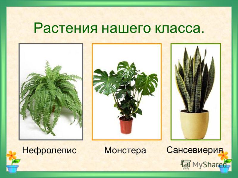 Растения нашего класса. НефролеписМонстера Сансевиерия
