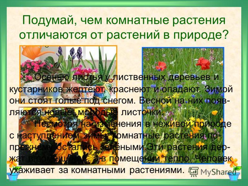 Подумай, чем комнатные растения отличаются от растений в природе? Осенью листья у лиственных деревьев и кустарников желтеют, краснеют и опадают. Зимой они стоят голые под снегом. Весной на них появ- ляются новые, молодые листочки. Несмотря на изменен
