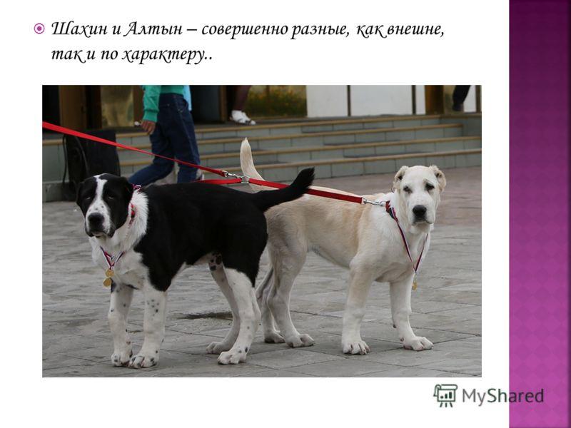 Шахин и Алтын – совершенно разные, как внешне, так и по характеру..