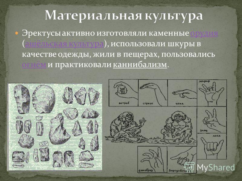 Эректусы активно изготовляли каменные орудия (ашёльская культура), использовали шкуры в качестве одежды, жили в пещерах, пользовались огнём и практиковали каннибализм.орудияашёльская культура огнём