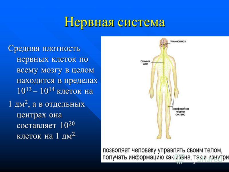 Нервная система Средняя плотность нервных клеток по всему мозгу в целом находится в пределах 10 13 – 10 14 клеток на 1 дм 2, а в отдельных центрах она составляет 10 20 клеток на 1 дм 2.