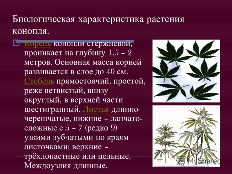 Биологическая характеристика растения конопля. Корень конопли стержневой, проникает на глубину 1,5 – 2 метров. Основная масса корней развивается в слое до 40 см. Стебель прямостоячий, простой, реже ветвистый, внизу округлый, в верхней части шестигран