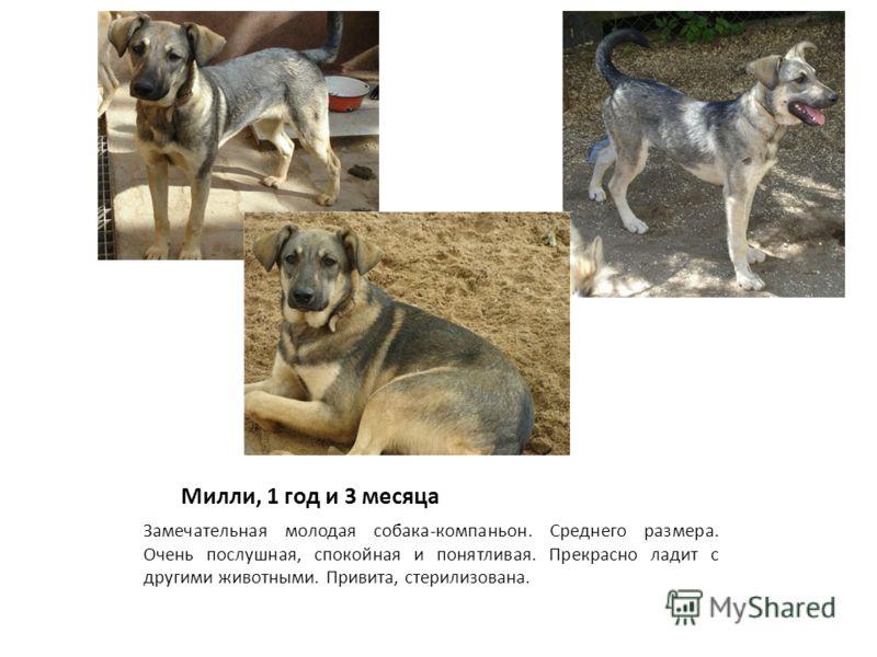 Милли, 1 год и 3 месяца Замечательная молодая собака-компаньон. Среднего размера. Очень послушная, спокойная и понятливая. Прекрасно ладит с другими животными. Привита, стерилизована.