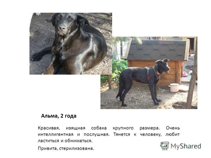 Альма, 2 года Красивая, изящная собака крупного размера. Очень интеллигентная и послушная. Тянется к человеку, любит ластиться и обниматься. Привита, стерилизована.
