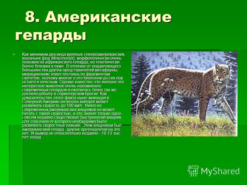 8. Американские гепарды 8. Американские гепарды Как минимум два вида крупных североамериканских кошачьих (род Miracinonyx), морфологически очень похожих на африканского гепарда, но генетически более близких к пуме. В отличие от подавляющего большинст