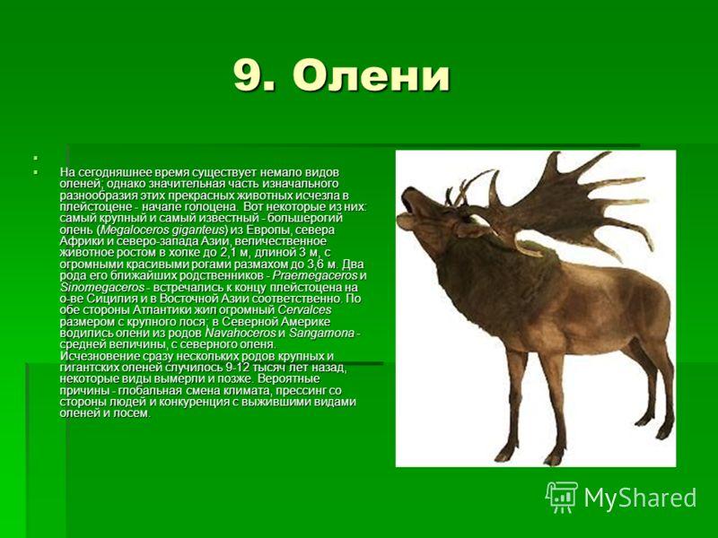 9. Олени 9. Олени На сегодняшнее время существует немало видов оленей; однако значительная часть изначального разнообразия этих прекрасных животных исчезла в плейстоцене - начале голоцена. Вот некоторые из них: самый крупный и самый известный - больш