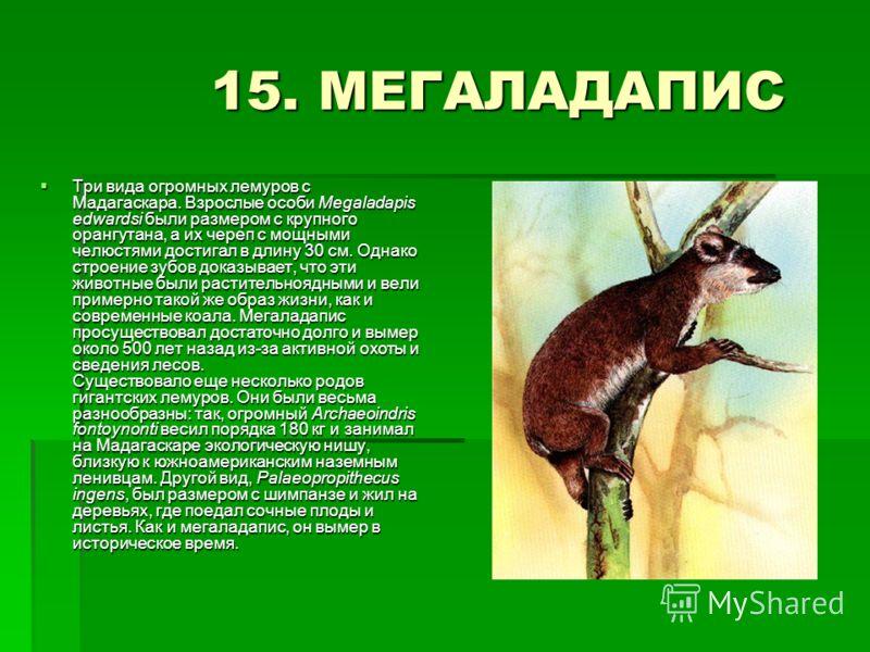 15. МЕГАЛАДАПИС 15. МЕГАЛАДАПИС Три вида огромных лемуров с Мадагаскара. Взрослые особи Megaladapis edwardsi были размером с крупного орангутана, а их череп с мощными челюстями достигал в длину 30 см. Однако строение зубов доказывает, что эти животны