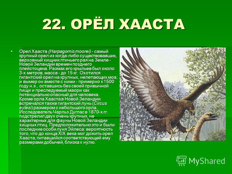 22. ОРЁЛ ХААСТА 22. ОРЁЛ ХААСТА Орел Хааста (Harpagornis moorei) - самый крупный орел из когда-либо существовавших, верховный хищник птичьего рая на Земле - Новой Зеландии времен позднего плейстоцена. Размах его крыльев был около 3-х метров, масса -