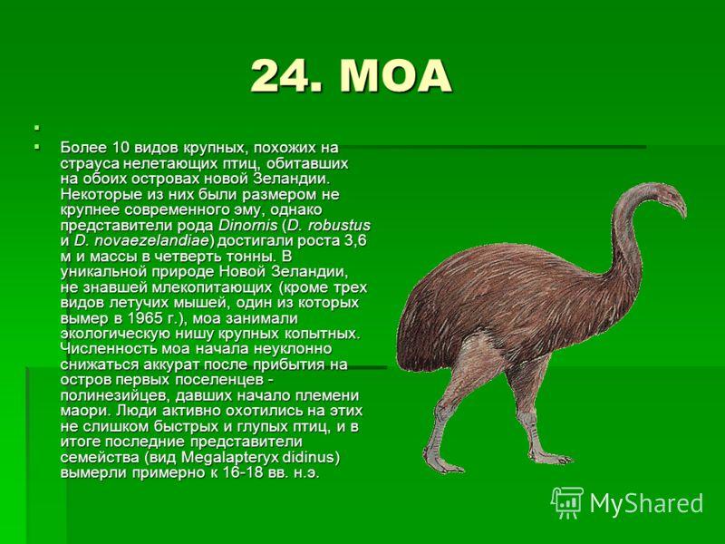 24. МОА 24. МОА Более 10 видов крупных, похожих на страуса нелетающих птиц, обитавших на обоих островах новой Зеландии. Некоторые из них были размером не крупнее современного эму, однако представители рода Dinornis (D. robustus и D. novaezelandiae) д