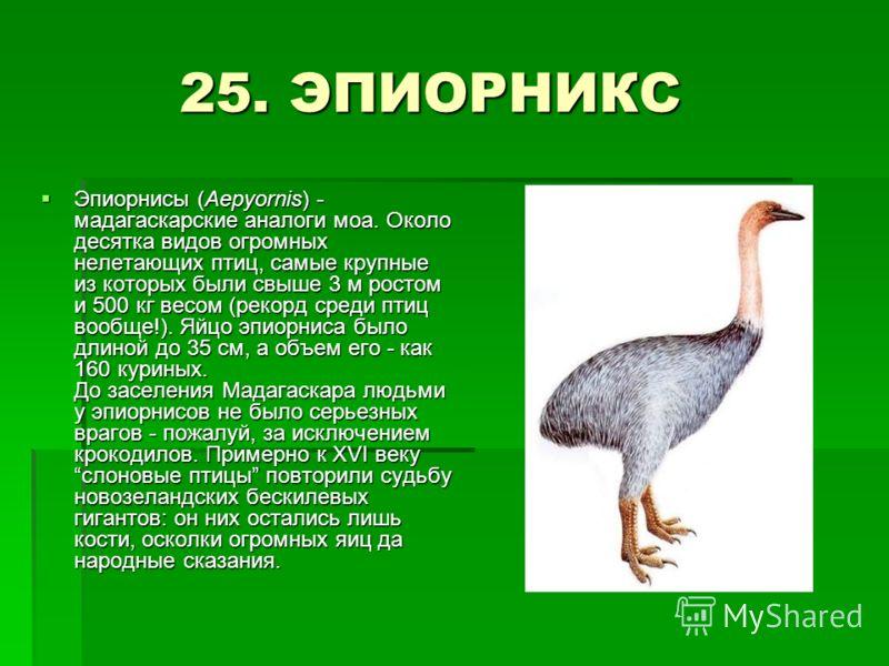 25. ЭПИОРНИКС 25. ЭПИОРНИКС Эпиорнисы (Aepyornis) - мадагаскарские аналоги моа. Около десятка видов огромных нелетающих птиц, самые крупные из которых были свыше 3 м ростом и 500 кг весом (рекорд среди птиц вообще!). Яйцо эпиорниса было длиной до 35