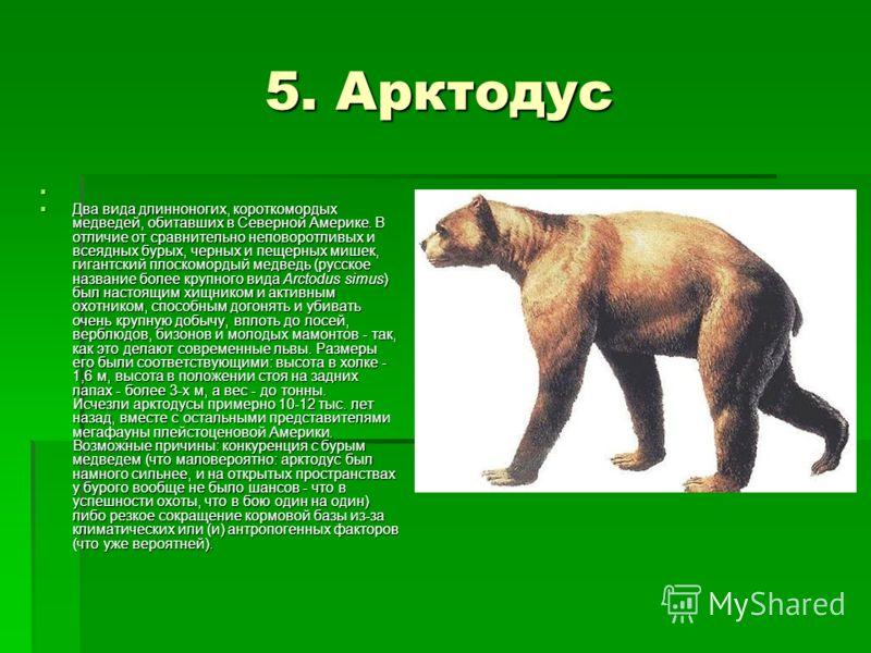 5. Арктодус 5. Арктодус Два вида длинноногих, короткомордых медведей, обитавших в Северной Америке. В отличие от сравнительно неповоротливых и всеядных бурых, черных и пещерных мишек, гигантский плоскомордый медведь (русское название более крупного в